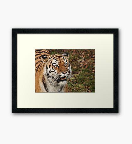 Amur Tiger - Panthera tigris altaica Framed Print