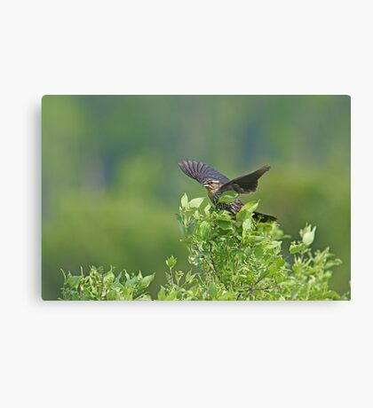 Red Wing Blackbird - Female Canvas Print