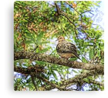 Morning Mourning Dove    Canvas Print