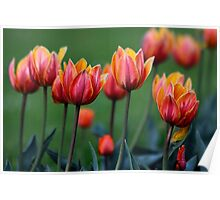 Bright colorful tulips Poster