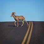 Street Bighorn Sheep by CarolM