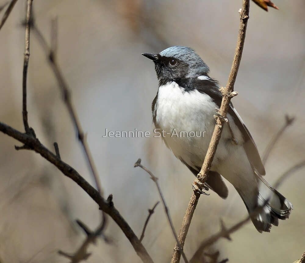 The black throated blue warbler by Jeannine St-Amour