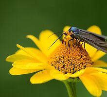 The Ctenucha Moth by Jeannine St-Amour