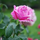 Ice pink Rose by lizdomett