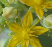Yellow Succulent Emerging Sticker