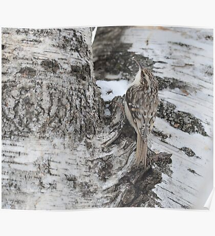 Little Brown Creeper Poster