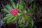 Waratah, Mt Wellingon by Jim Lovell