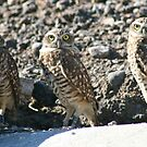 Burrowing Owls... by RichImage