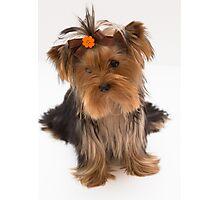 Sweet Yorkie Puppy Photographic Print