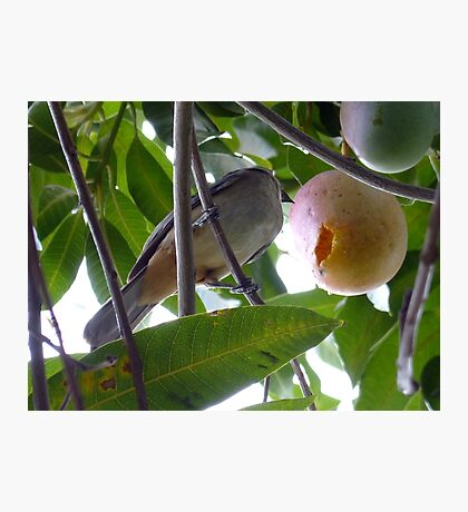 Bird Eating Mango Photographic Print