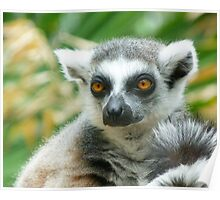 Thoughtful Ring-tailed Lemur 2 Poster