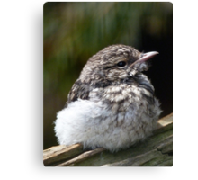 Young Hooded Robin Canvas Print