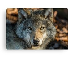 Timber Wolf - Looking at you. Canvas Print