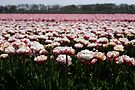 Beautiful Tulips by AnnieSnel
