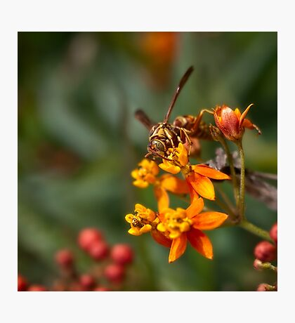 Wasp on milkweed Photographic Print