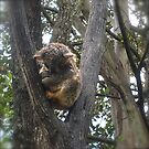 koala - in the wild, Kennett River - Victoria.  by Margaret Stanton