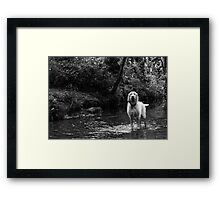 Spinone in The Water Framed Print