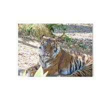 Tiger stare Gallery Board