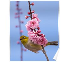 Silvereye on pink blossom Poster
