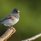 DARK-EYED JUNCO by Sandy Stewart