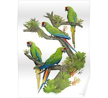 Military and Buffon's Macaws Poster