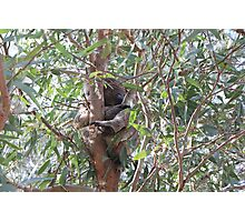 Koala in a tree, Morialta Conservation Park, S.A. Photographic Print