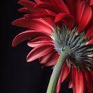 Red Gerbera Daisies Flower by Edward Fielding