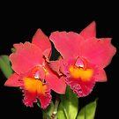 Hawaiian Splash Flowers by vette