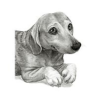 Graphite Pencil portrait drawing of Peanut the Dachshund Photographic Print