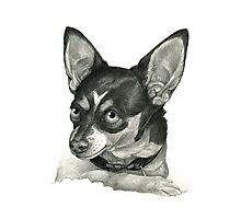 Graphite Pencil portrait drawing of a Chihuahua Photographic Print
