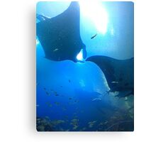 A pair of rays (manta rays) Canvas Print