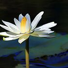 White Aquatic Lily by Teresa Zieba