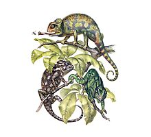 Indian Chameleon Photographic Print