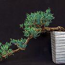 Semi Cascade Bonsai  by DPalmer