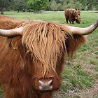 Highland Cow by Corbetio