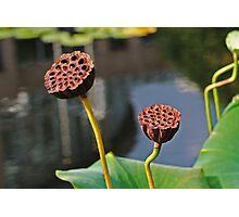 Sunbathing Seed Pods Photographic Print