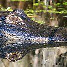 Gator reflections!! by jozi1