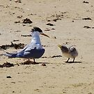 Greater Crested Tern and Chick by lezvee