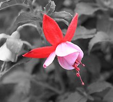 Fuschia In The Light by Sandra Foster