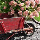 Old Wood Wheelbarrow with Peegee hydrangea by kkmarais