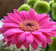 Gorgeous Pink Gerbera Daisy by MidnightMelody