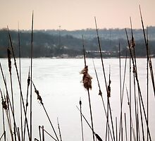 Winter Bullrushes by BonnieToll
