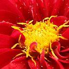 Dahlia close up by ANNABEL   S. ALENTON