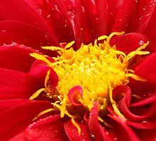 Dahlia close up by ANNABEL   S. ALENTON