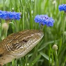 The Bluetonge Lizard in Blue Cornflowers by Clare Colins