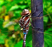 Blue-eyed Darner - female by BonnieToll