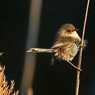 Jenny Wren by ThisMoment