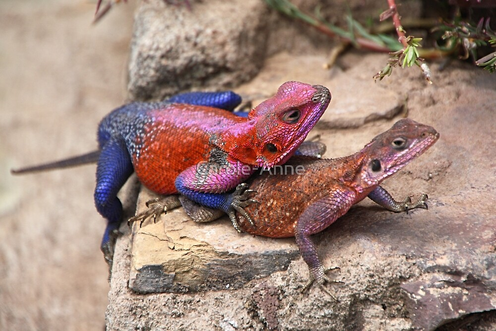 East African Rainbow Agama Lizards Mating by Carole-Anne