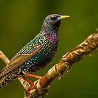 """EUROPEAN STARLING"" by Sandy Stewart"