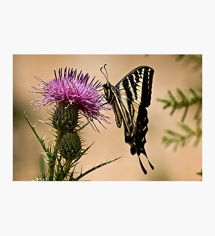 Swallowtail sipping from a thistle Photographic Print